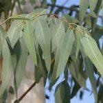 Kaj so prednosti evkaliptusa?